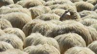 """I pastori di Acerra: «Qui moriamo di diossina, come le nostre pecore"""""""