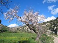 La primavera del mandorlo delle gravine