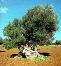 Ulivi secolari di Puglia