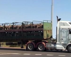 Pecore australiane trasportate per la macellazione.