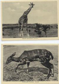 Foto giraffa e gazzella somale (7° Alias Mohamed nella boscaglia somala)
