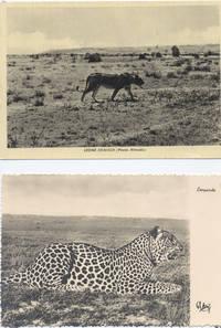 Foto leopardo e leone somali ( 7° Alias Mohamed nella boscaglia somala)