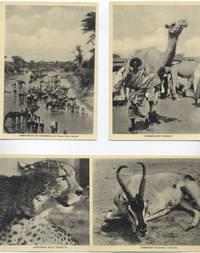 Foto Cammelli, ghepardo e gazzella semering somali (7° Alias Mohamed nella boscaglia somala)