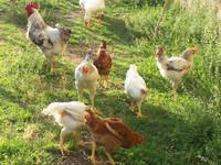 Diossina nelle uova a 14 chilometri da Taranto