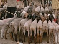 Pecore di Maglie