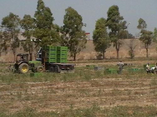 Pomodori raccolti a Taranto a pochi passi dall'Ilva e dal suo camino E312 (da cui fuoriesce diossina).
