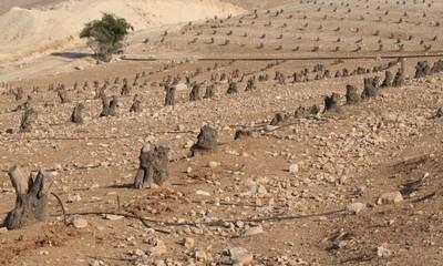 ulivi in palestina