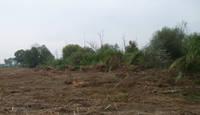 alberi abbattuti lungo il Tronto