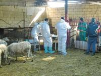 Nuovo allarme diossina a Taranto. Le immagini delle pecore da macellare