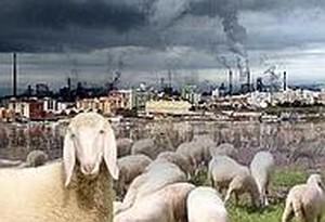 Pecore-Ilva