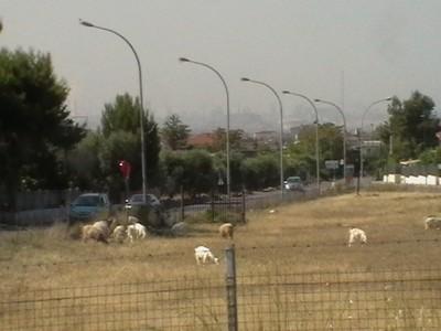 Pecore che pascolano a Taranto. Sullo sfondo l'Ilva