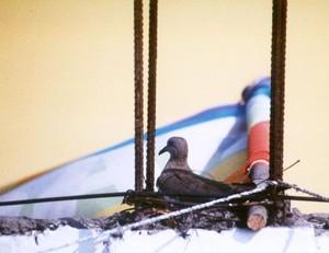 Ciao, questa colomba ha fatto il suo nido vicino alla bandiera dei volontari ASPEm a Lima.