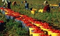 Nel periodo della raccolta dei pomodori, il lavoro degli immigrati è indispensabile