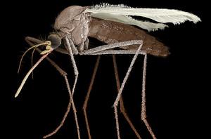 una zanzara può diffondere il vaccino
