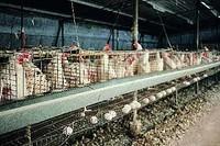 Anche le umili galline hanno diritto al rispetto