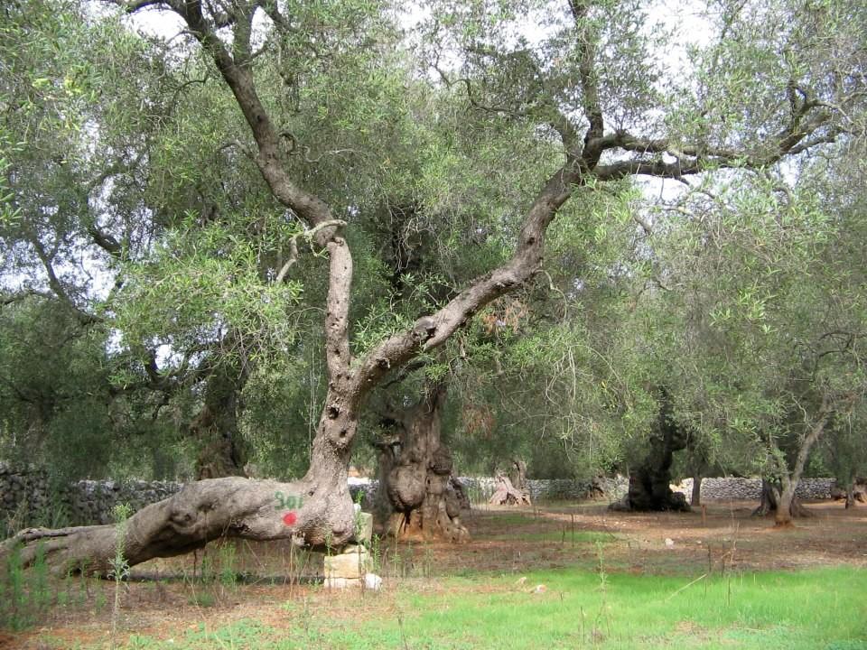 Calendario Trattamenti Olivo Puglia.Le Proposte Ufficiali Del Popolo Degli Ulivi