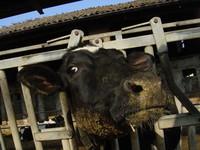 I costi ambientali della carne