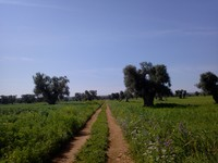 Un sentiero tra gli ulivi millenari di Fasano