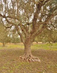 Xylella in Puglia: interventi urgenti alternativi alla eradicazione degli ulivi