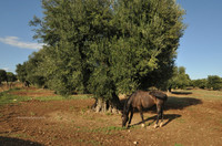 Xylella: il Ministro Francese dell'Agricoltura d'accordo con Peacelink e Verdi