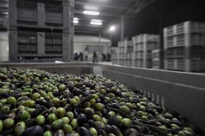 Olive di Torchiarolo