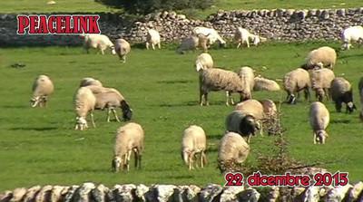 Pecore nei terreni di pascolo interdetti