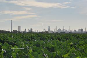 Cavoli piantati vicini l'Ilva di Taranto