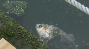 Pesce morto