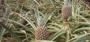 Piantagioni di ananas (Foto G. Iglesias | Rel-UITA)