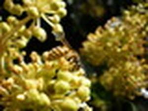 L'agricoltura industriale minaccia l'ecosistema di api e vespe