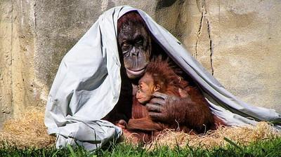 orangutan-hugging-his-baby