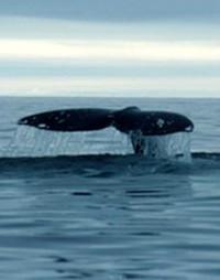 Balene estinte e in via d'estinzione