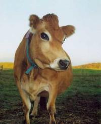 Diossina, il bestiame sarà abbattuto