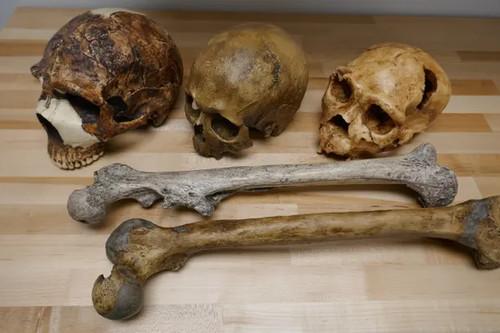 Questi fossili umani illustrano la variazione del cervello (teschi) e delle dimensioni del corpo (ossa della gamba) in relazione all'età e ai fattori ambientali. Teschi da sinistra: Neanderthal (55.000 anni), scoperto in Israele; Homo sapiens (32.000 anni), Francia; Pleistocene medio Homo, (430.000 anni), Spagna. Fotografia: Dr Manuel Will