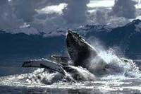 Balene, una strage inutile. No alla riapertura della caccia