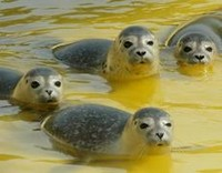 Norvegia, arriva la caccia alla foca per turisti