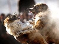 I combattimenti tra animali