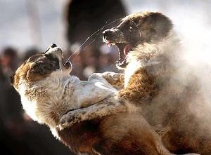 COMBATTIMENTI A Chaman-e-Babrak, città a nord della capitale afgana Kabul, sono ripresi questa settimana i combattimenti tra cani, manifestazioni che erano state bandite dai talebani (AP Photo/Emilio Morenatti).