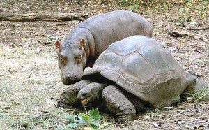 FIGLIO ILLEGITTIMO Owen, un cucciolo di ippopotamo scampato al maremoto che ha prodotto danni anche sulle coste del Kenya, è stato adottato da una tartaruga gigante in un giardino zoologico situato nel porto di Mombasa. Il cucciolo, di tre quintali, si tr