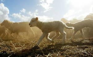 Pecore merino a Yarran station, vicino Young, 300 km a ovest di Sidney in Australia (Foto Ap).