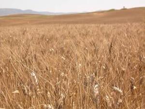 campo di grani