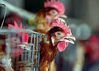 L'influenza dei polli è roba seria Ma c'è chi specula sull'allarme