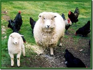 pecore e galline