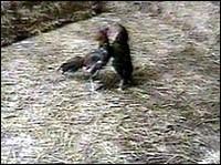Scommesse sui galli punite con la galera