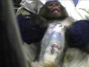 covance vivisezione