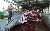 """""""Balene, la scienza non giustifica la caccia"""""""
