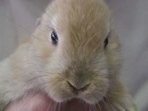 Il coniglio nano Toby