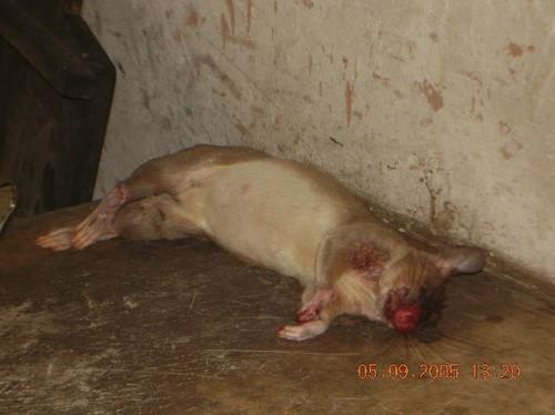Novità in cucina- Un  topo di savana. Per l'esattezza il cuoco lo ha portato a casa sua perchè noi non l'avremmo apprezzato.