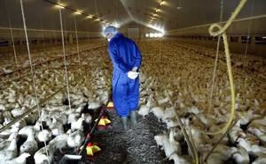 Allevamneto polli intensivi