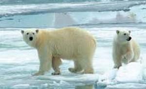 orsi antartico